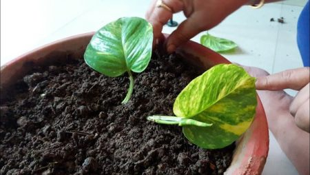 Replacing-the-soil-in-flower-pots-before-new-plant