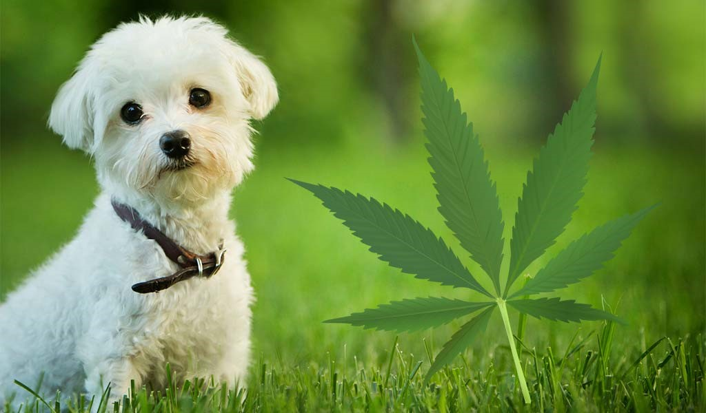 Use-A-Chart-To-Determine-The-Right-CBD-Dosage-For-Dogs
