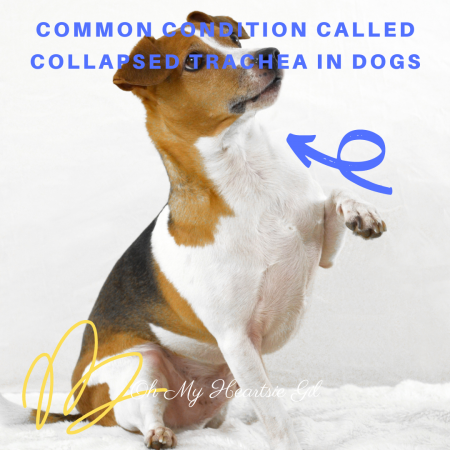 common-condition-called-collapsed-trachea-in-dogs