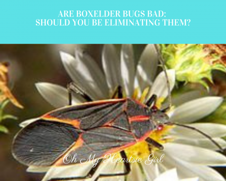 Are-Boxelder-Bugs-Bad-Should-You-Be-Eliminating-Them