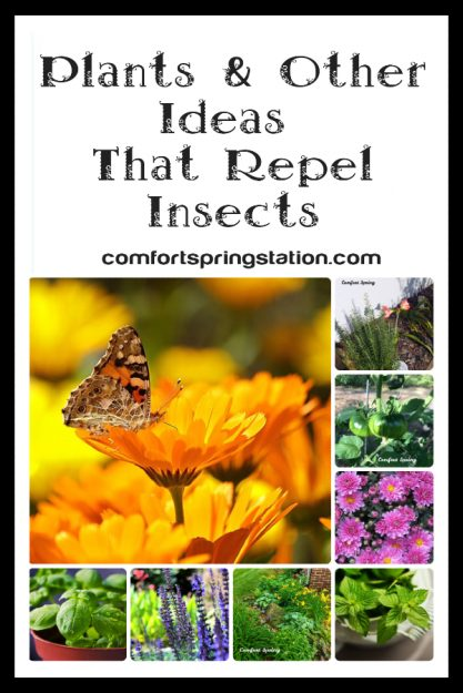 Plants-and-other-ideas-that-repel-bugs-in-your-garden